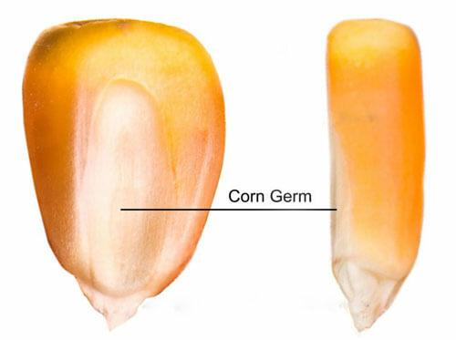 corn germ for making corn oil